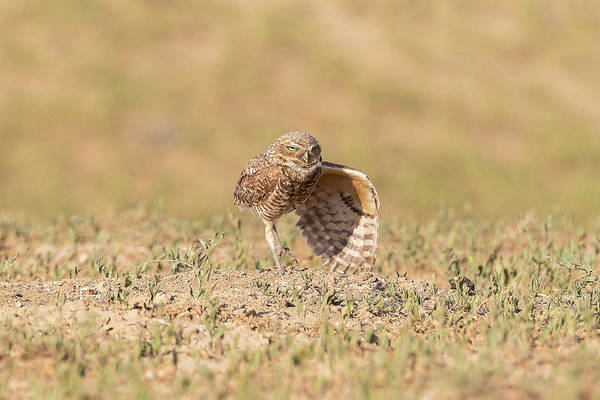 Photograph - Burrowing Owl Stretches A Wing by Tony Hake