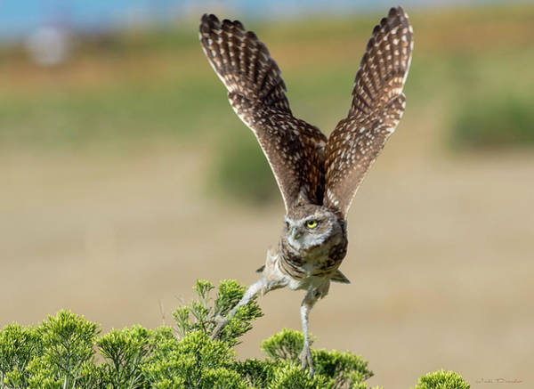 Photograph - Burrowing Owl Take-off by Judi Dressler