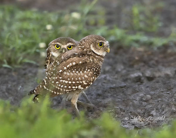 Photograph - Burrowing Owl Twins by Mike Fitzgerald