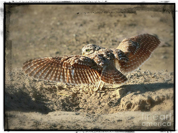 Photograph - Burrowing Owl Wings With Border by Carol Groenen