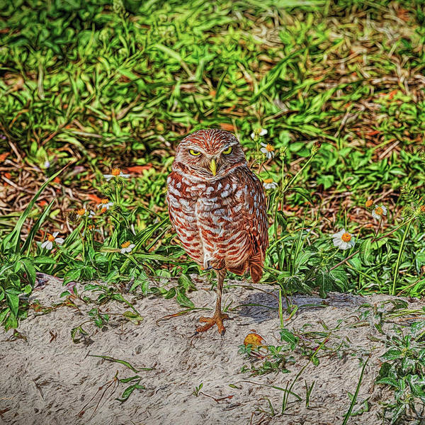 Photograph - Burrowing Owl With A Burrowing Stare by John M Bailey