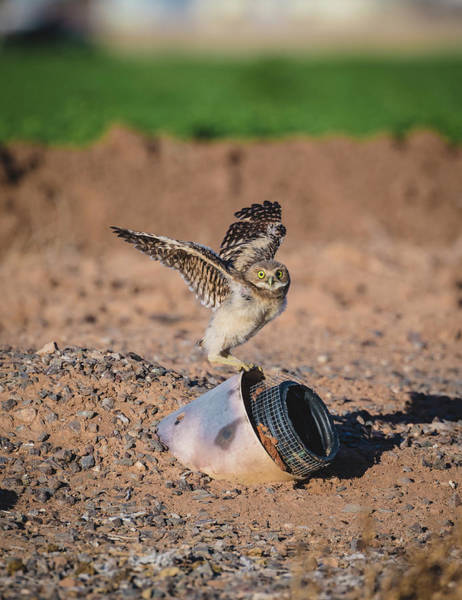 Photograph - Burrowing Owlet Stretching His Wings by Gloria Anderson