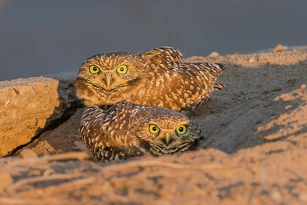 Sonny Bono Wall Art - Photograph - Burrowing Owls At Sunset In The Desert by Morris Finkelstein