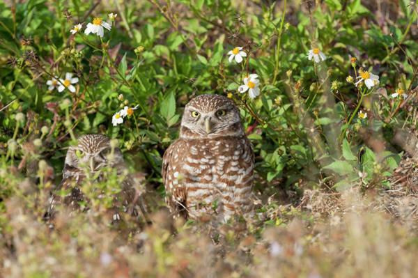 Photograph - Burrowing Owls Outside Their Den by Dan Friend