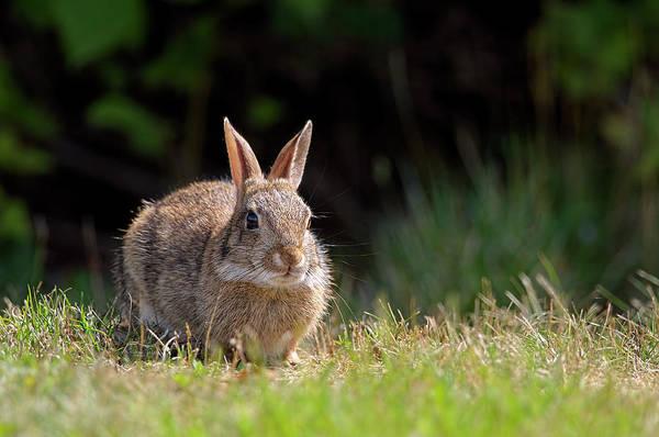 Photograph - Bush Bunny by Sharon Talson