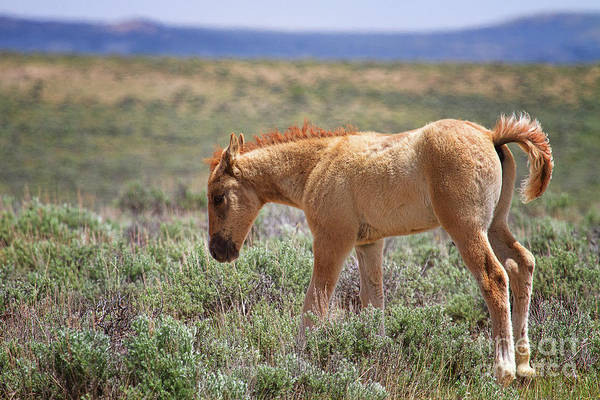 Photograph - Bush Tailed Buckskin by Jim Garrison