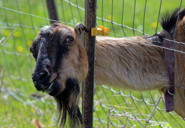 Goats Photograph - Busted by Mike  Dawson