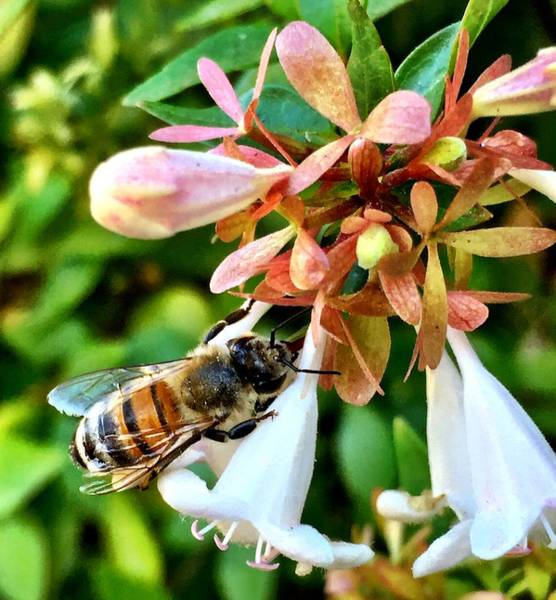 Photograph - Busy As A Bee by Brad Hodges