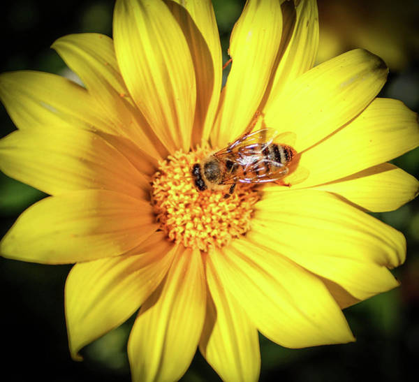 Photograph - Busy Bee by Alison Frank