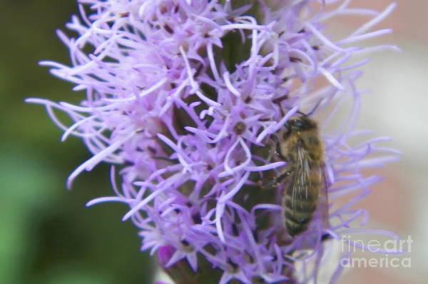 Liatris Spicata Photograph - Busy Bee by Gina Sullivan