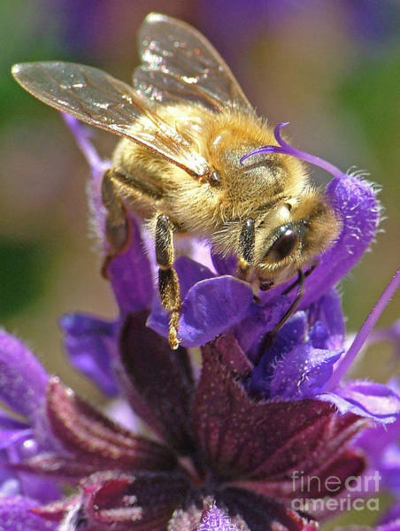 Photograph - Busy Bee by Katie LaSalle-Lowery