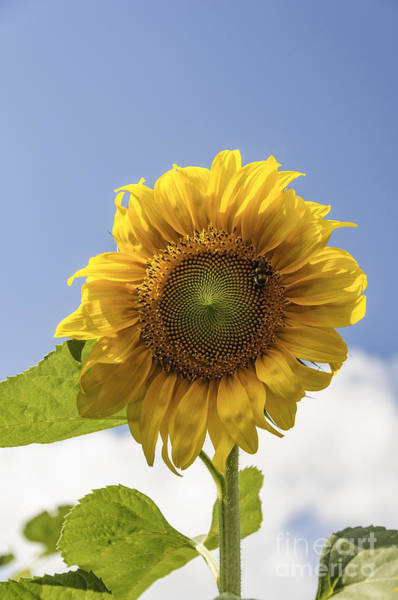 Photograph - Busy Bee On A Sunflower by Debra Fedchin
