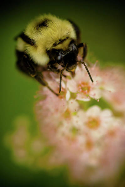 Photograph - Busy Bee by Sebastian Musial