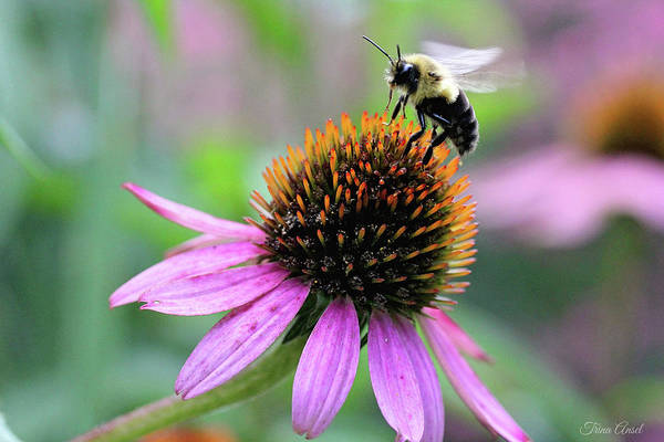 Photograph - Busy Bee by Trina Ansel