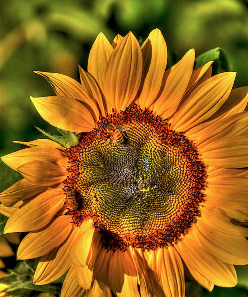 Sunflower Seeds Photograph - Busy Bees by William Wetmore