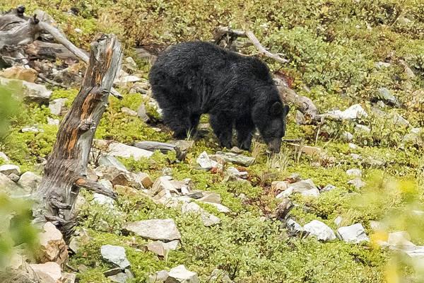 Photograph - Busy Black Bear - Glacier Np by Belinda Greb