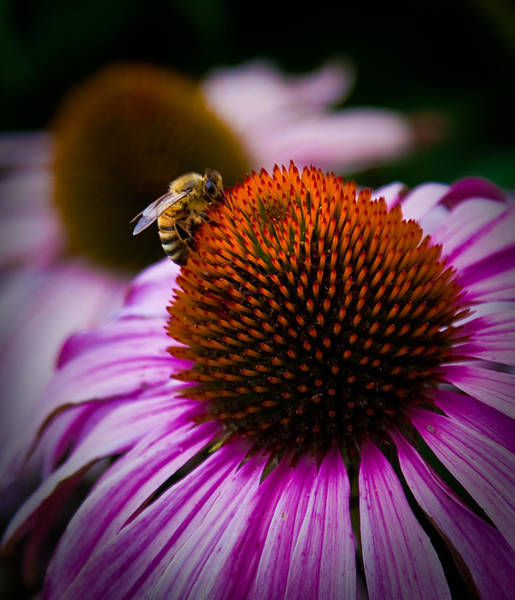 Wall Art - Photograph - Busy Boulder Bee by Patrick  Flynn