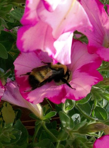 Photograph - Busy Bumble Bee by Sharon Duguay