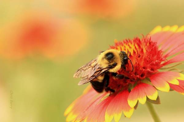 Wall Art - Photograph - Busy Bumblebee by Chris Berry