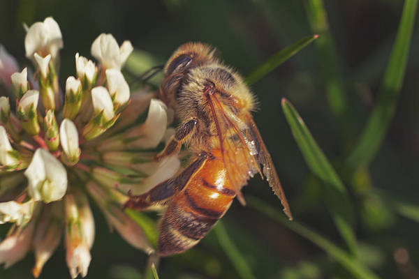 Photograph - Busy Little Bee  by Brian Cross
