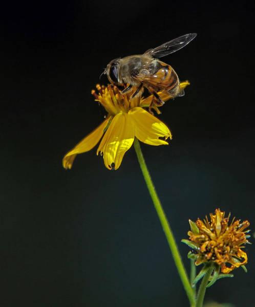 Photograph - Busy Little Bee by Elaine Malott