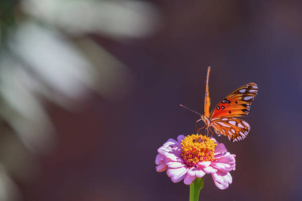 Photograph - Butterfly And Zinnia by SR Green