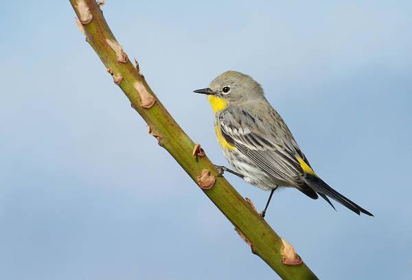 Yellow-rumped Warbler Photograph - Butter Butt 2 by Fraida Gutovich