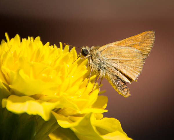Photograph - Woodland Skipper Butterfly 2 by Marilyn Wilson