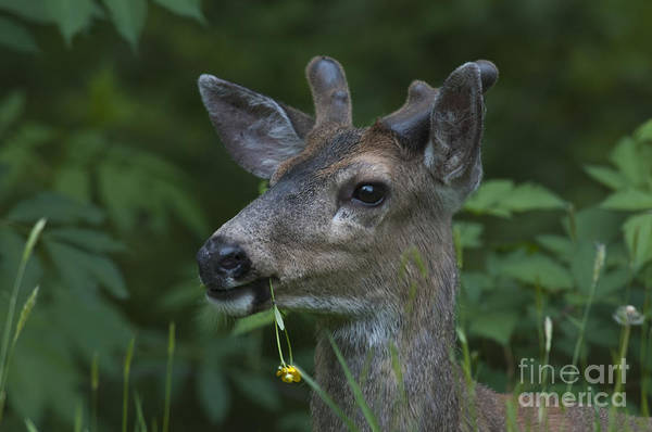 Mission Bc Photograph - Buttercup Buck by Rod Wiens