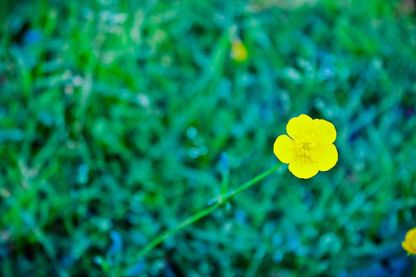 Wall Art - Photograph - Buttercup by Colleen Kammerer