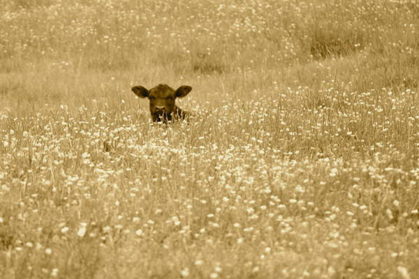 Photograph - Buttercup In Sepia by JD Grimes