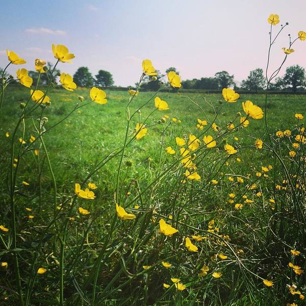 Photograph - Buttercups Meadow by Samuel Pye