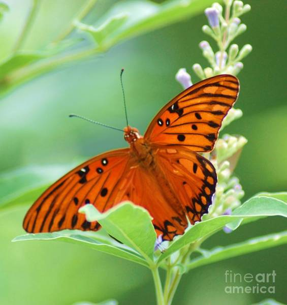 Photograph - Butterflies Are Free by Donna Bentley