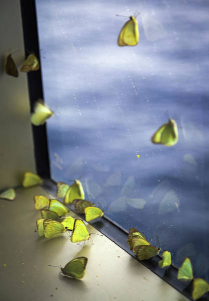Sulfur Butterfly Wall Art - Photograph - Butterflies At Sea by Karen Wiles
