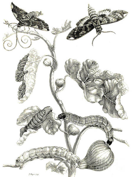 Butterfly Drawing - Butterflies, Caterpillars And Plant by Maria Sibylla Graff Merian