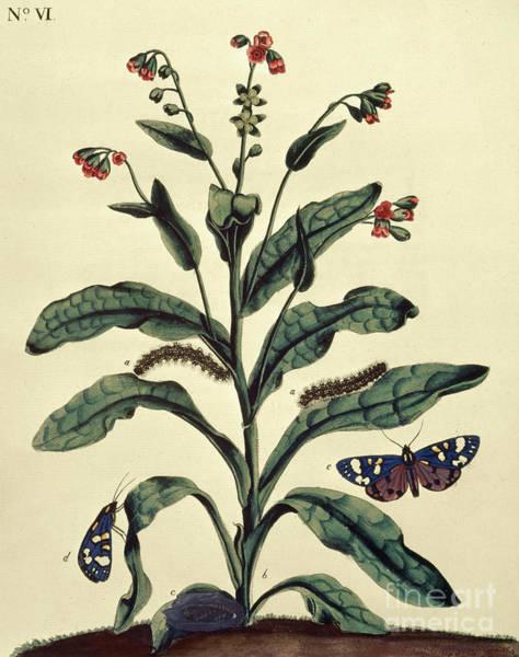 Wall Art - Painting - Butterflies, Caterpillars And Plants Plate Vi  by J Dutfield