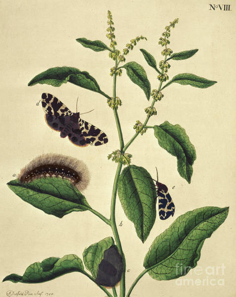 Fashion Plate Painting - Butterflies, Caterpillars And Plants Plate Viii By J Dutfiel by J Dutfield