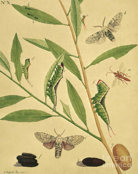 Fashion Plate Painting - Butterflies, Caterpillars And Plants Plate X By J Dutfield by J Dutfield