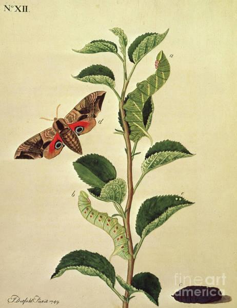 Wall Art - Drawing - Butterflies, Caterpillars And Plants Plate Xii  by J Dutfield