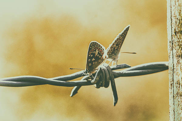 Photograph - Butterflies by Cliff Norton