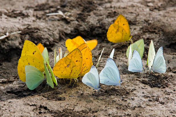 Butterflies Eating Minerals Art Print
