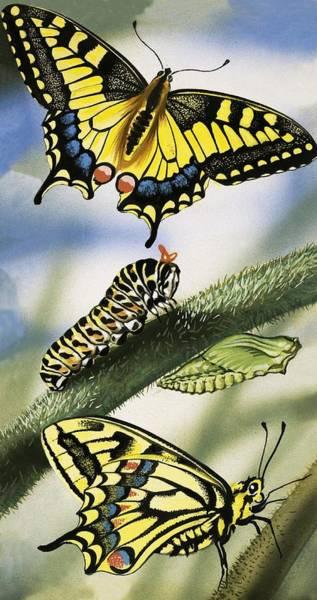 Larva Wall Art - Painting - Butterflies by English School