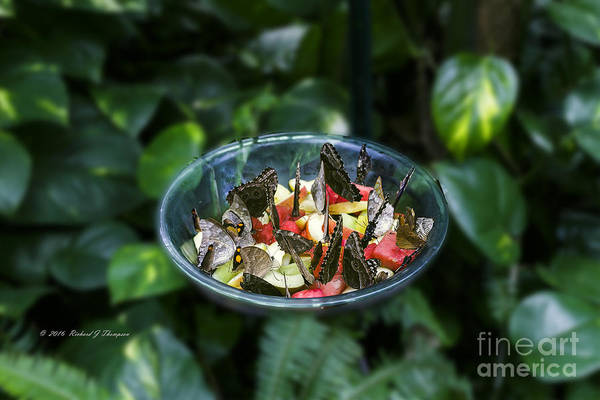 Photograph - Butterflies Feeding by Richard J Thompson