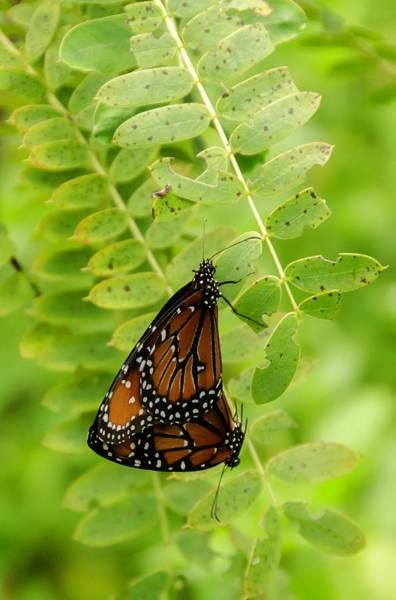Photograph - Butterflies In Love by Wolfgang Stocker
