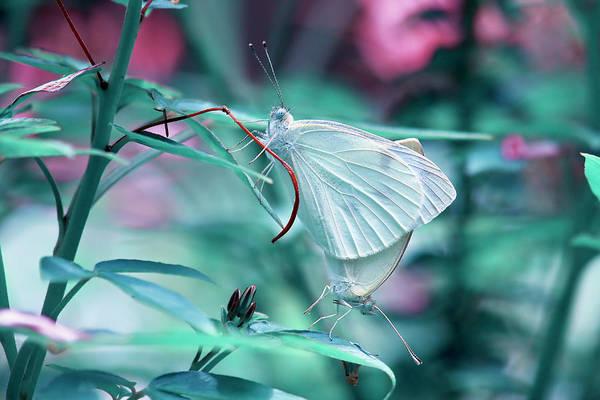Photograph - Butterflies by Jill Lang