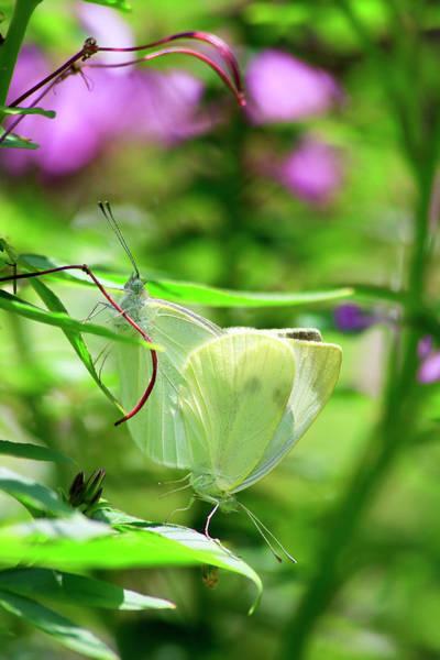 Photograph - Butterflies Mating by Jill Lang