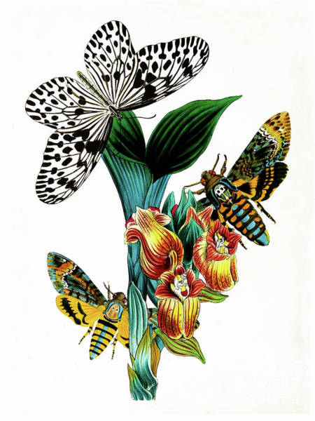 Flutterby Wall Art - Painting - Butterflies, Moths And Orchids, Vintage Botanical Painting by Tina Lavoie