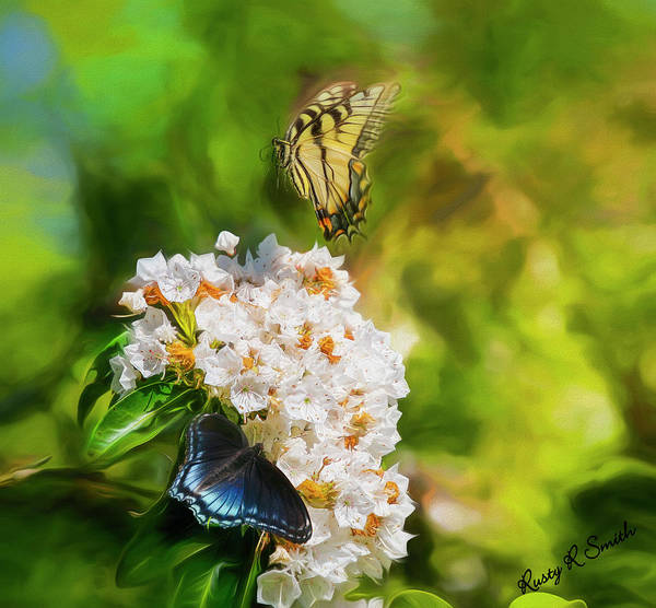 Digital Art - Butterflies On Mountain Laurel Flowers. by Rusty R Smith