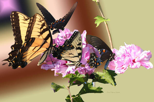 Photograph - Butterflies On Rose Of Sharon by Ericamaxine Price