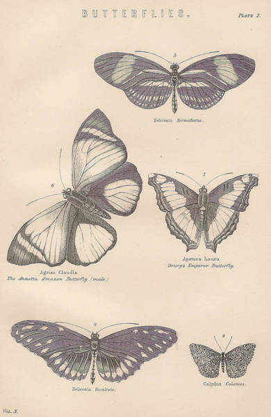Boho Chic Drawing - Butterflies by Victorian Engraver